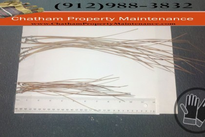 Long Leaf and Slash Pine Straw comparision