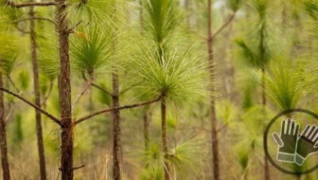 Long Needle Pine Trees